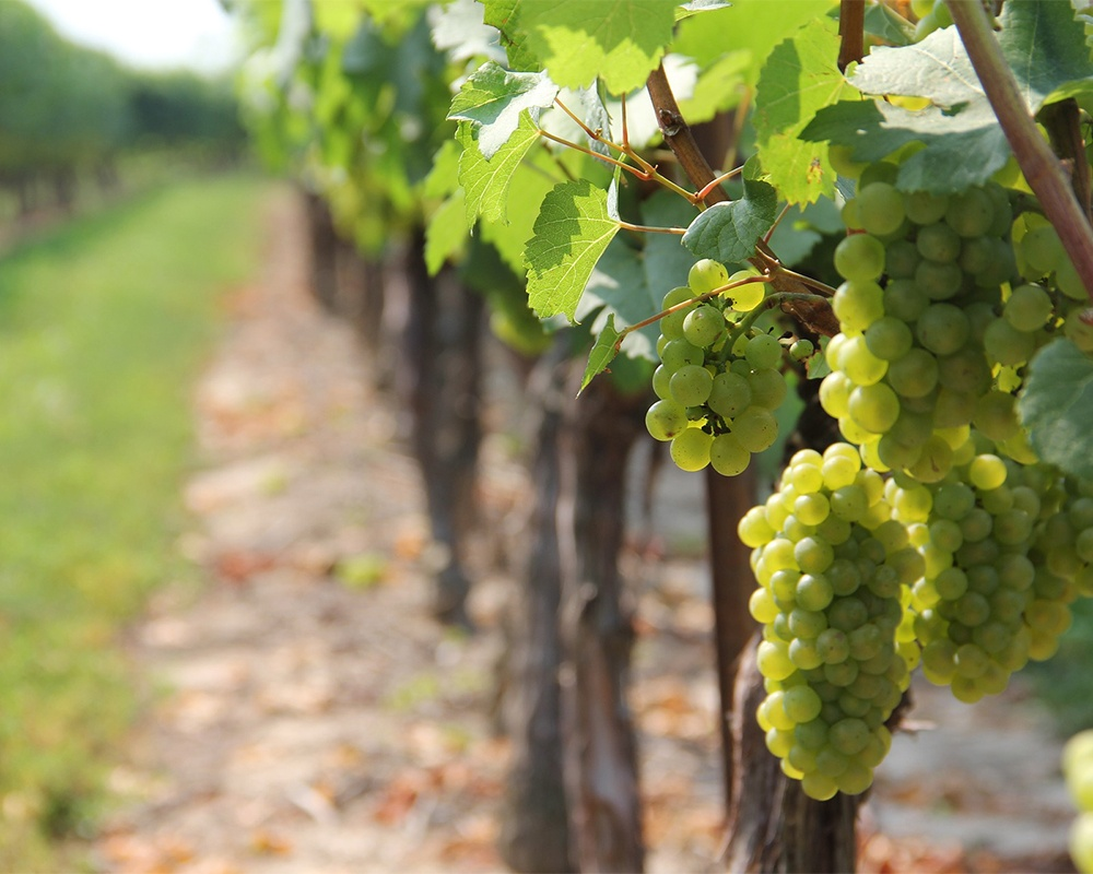Budapest. Image of grapes in Hungary's Etyek wine-growing region.